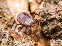 L'encéphalite ou le virus de Lyme a infecté Tick Arachnid Insect Crawlin photographie stock