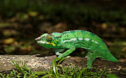 L'endormi, the famous chameleon of La Réunion Stock Photos