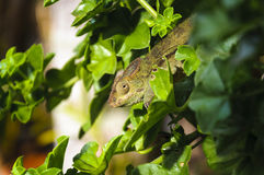 L'Endormi ou-caméléon, Ile de La Réunion Arkivfoton