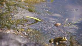 L'enfant a attrapé une grenouille verte par la rivière Mouvement lent banque de vidéos