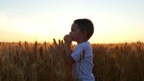 L'enfant avec le plaisir et joie touche les épillets du blé dans le domaine dans la perspective du coucher du soleil E banque de vidéos