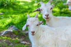 L'enfant de chèvre frôlent la montagne Photo stock
