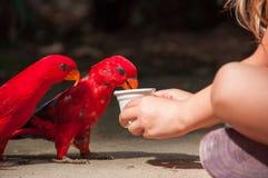 L'enfant donne à l'eau des perroquets d'un rouge photo libre de droits