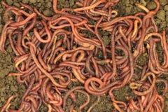 L'engrais rouge worms le fond photo stock