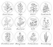 L'ensemble d'épices, d'herbes et d'officinale plante des icônes Centrales curatives illustration stock
