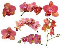 L'ensemble d'orchidée lumineuse fleurit avec les bandes roses Images stock