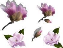 L'ensemble de rose de magnolia fleurit sur le fond blanc Image libre de droits