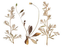 L'ensemble de sauvage sèchent les fleurs et les feuilles pressées Photographie stock libre de droits
