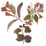 L'ensemble de sauvage sèchent les fleurs et les feuilles pressées Images libres de droits