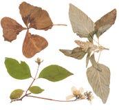 L'ensemble de sauvage sèchent les fleurs et les feuilles pressées Images stock