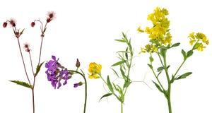 L'ensemble de studio a isolé quatre fleurs sauvages Image libre de droits