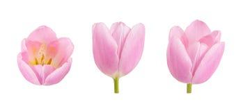 L'ensemble de tulipe bourgeonne dans différents angles d'appareil-photo d'isolement sur b blanc Photos stock