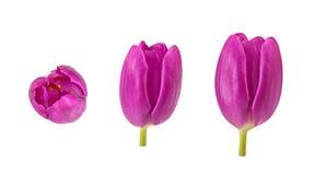 L'ensemble de tulipe bourgeonne dans différents angles d'appareil-photo d'isolement sur b blanc Image stock