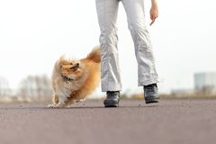 L'entraîneur de chien allemand travaille avec un chien de berger de sheetland Photo libre de droits