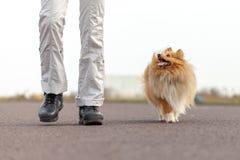 L'entraîneur de chien allemand travaille avec un chien de berger de sheetland Photographie stock libre de droits