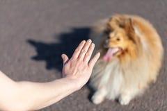 L'entraîneur de chien travaille avec un chien de berger de Shetland Photographie stock