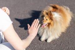 L'entraîneur de chien travaille avec un chien de berger de Shetland Photo stock