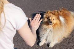 L'entraîneur de chien travaille avec un chien de berger de Shetland Photos libres de droits