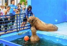 L'entraîneur de femme au zoo frotte une otarie pendant la représentation animale image stock