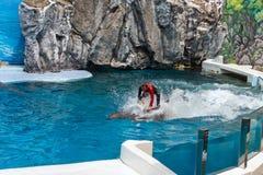 L'entraîneur exécutent l'équitation sur des dauphins de bottlenose Photographie stock
