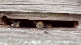 L'entrata all'alveare, le api porta il polline, piante di miele video d archivio