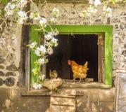 L'entrata delle galline Fotografia Stock Libera da Diritti