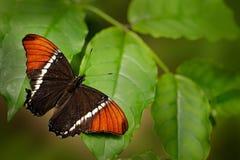 L'epaphus de Siproeta de papillon, page Rouillé-inclinée dans geen l'habitat de nature Brown et papillon orange se reposant sur l photographie stock