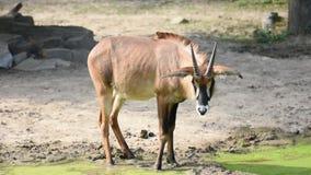 L'equinus latin de Hippotragus de nom d'antilope près du lac vert Vue étroite de la vie animale de faune africaine dans le safari clips vidéos