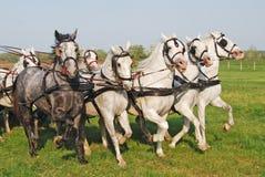 L'equitazione molti degli animali da allevamento Fotografia Stock Libera da Diritti