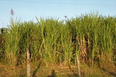 L'erba alta dietro un filo spinato recinta un campo venezuelano rurale in Barinas verso la fine del pomeriggio Fotografie Stock