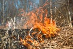L'erba asciutta arde fra i cespugli, fuoco nell'area dei cespugli fotografia stock