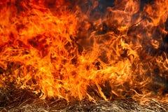 L'erba asciutta arde fra i cespugli, fuoco nell'area dei cespugli fotografia stock libera da diritti