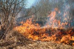 L'erba asciutta arde fra i cespugli, fuoco nell'area dei cespugli fotografie stock