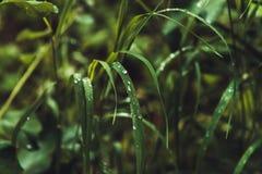 L'erba con pioggia cade la macro Fotografia Stock