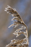 L'erba congelata Immagini Stock