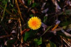 L'erba del dente di leone è fiorito immagini stock libere da diritti