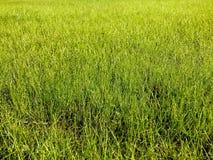 L'erba del prato inglese immagini stock libere da diritti