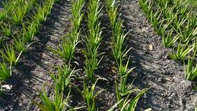 L'erba di Aloevera è la crescita nel giardino Fotografie Stock
