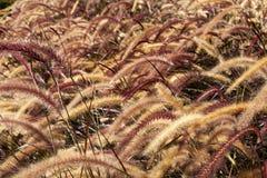 Campo dell'erba di coda di volpe Immagini Stock Libere da Diritti