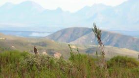 L'erba di Fynbos ondeggia nel vento con le colline e le montagne nebbiose nella distanza archivi video