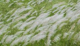 L'erba di Kans fiorisce il fondo Immagini Stock Libere da Diritti
