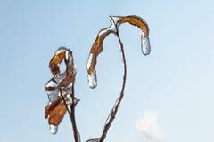 L'erba dopo pioggia ghiacciata lascia nell'inverno piovoso del ghiaccio Fotografia Stock Libera da Diritti