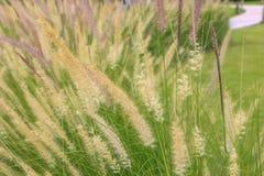 L'erba fiorisce al sole Fotografie Stock Libere da Diritti
