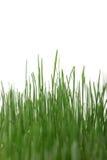 L'erba ha isolato Fotografia Stock