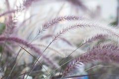 L'erba lanuginosa ed i suoi colori porpora Fotografia Stock