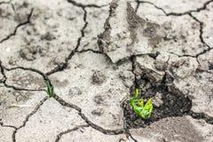 L'erba si sviluppa in su in terreno asciutto Fotografia Stock