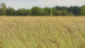 L'erba sta ondeggiando nel vento - il rallentatore 180fps video d archivio