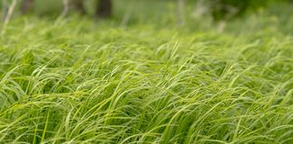 L'erba in un forte vento Fotografia Stock Libera da Diritti
