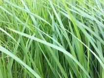 L'erba verde coltiva tutt'intorno il fondo fotografia stock
