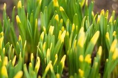 L'erba verde con giallo fornisce di punta il fuoco selettivo Immagini Stock Libere da Diritti
